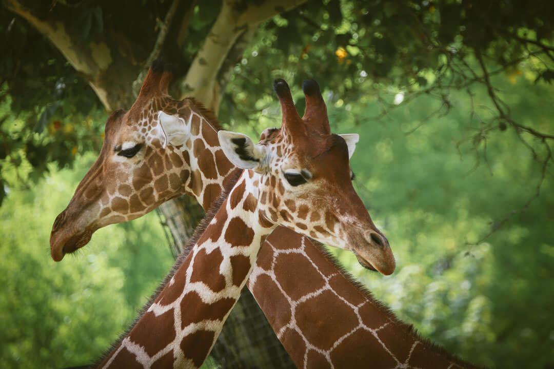 zoo de beauval photo d'animaux-www.photographe-33.fr Christophe Boury- Deux girafe qui se croise