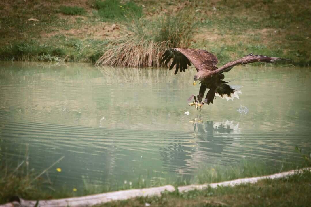 zoo de beauval photo d'animaux-www.photographe-33.fr Christophe Boury- aigle en chasse