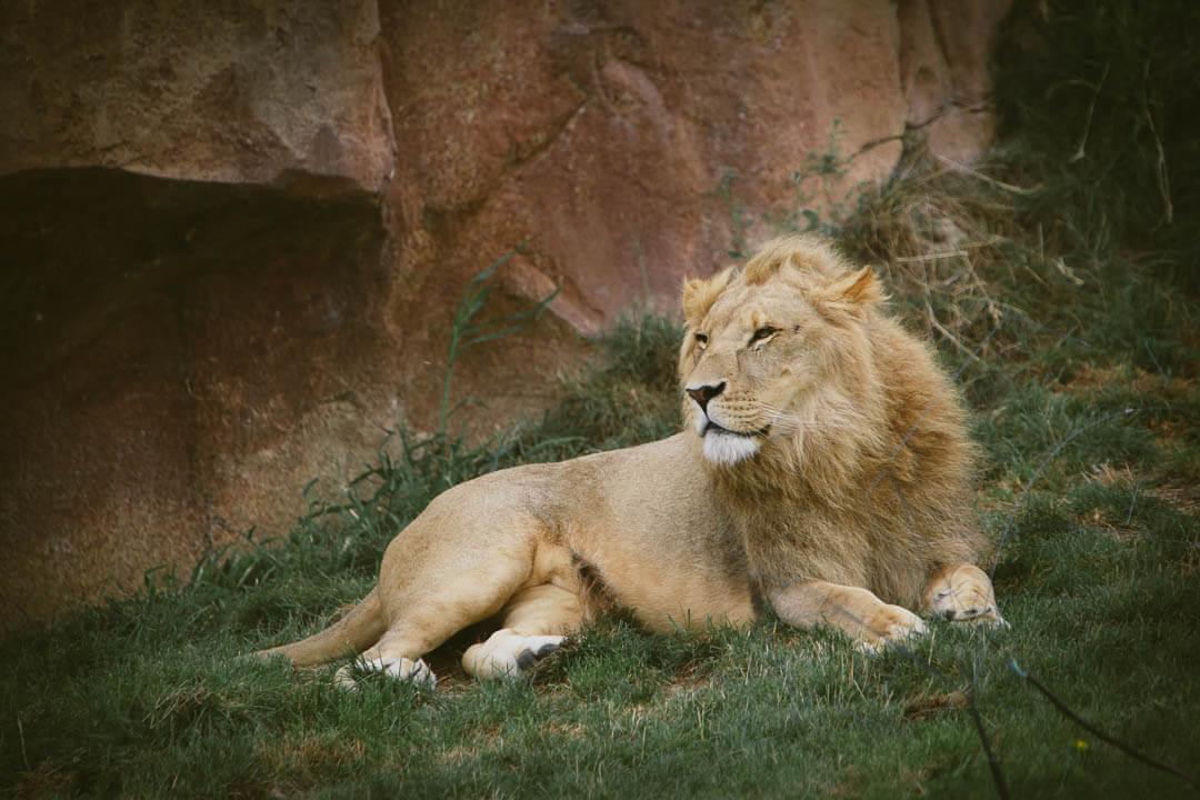 zoo de beauval photo d'animaux-www.photographe-33.fr Christophe Boury- lion